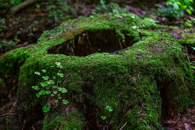 Um toco grande coberto com musgo verde grosso na floresta. vista fabulosa. Foto Premium