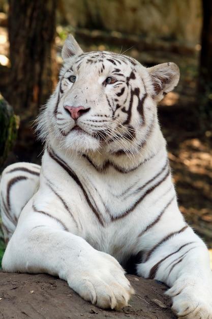 Um toger branco no zoológico Foto Premium