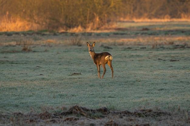 Um único cervo está parado em um prado congelado Foto gratuita