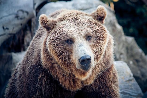 Um urso pardo olhando Foto Premium