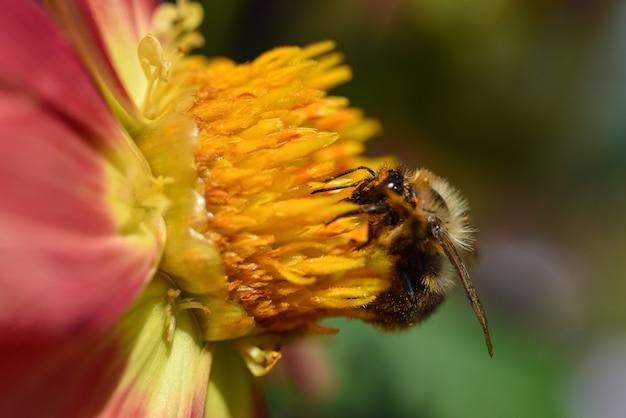 Uma abelha senta-se em uma flor amarela Foto Premium