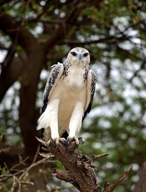 Uma águia africana empoleirada em uma árvore de acácia Foto Premium