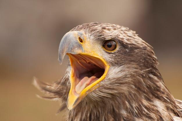 Uma águia chorando Foto Premium