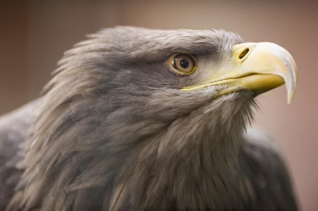 Uma águia dourada olhando para longe Foto gratuita