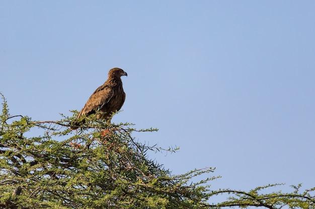 Uma águia na copa de uma árvore Foto Premium
