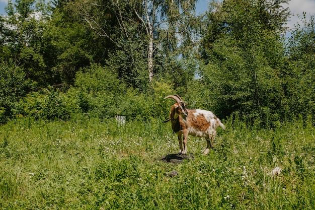 Uma cabra marrom fica em uma pedra em um campo Foto Premium