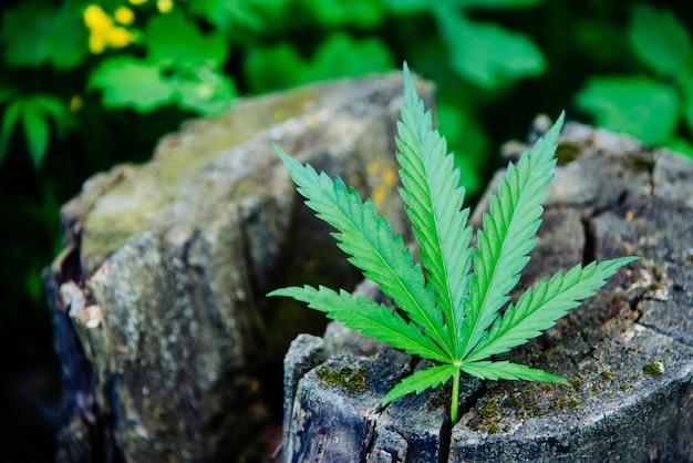 Uma folha de cannabis fresca encontra-se no toco Foto Premium