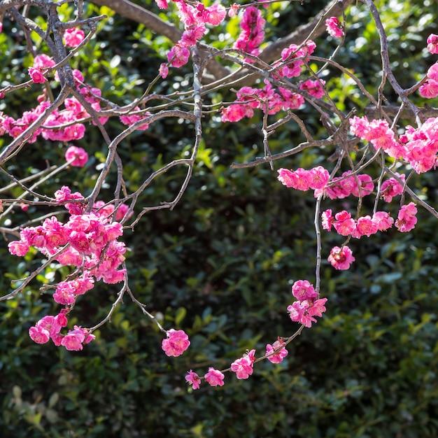 Uma grinalda crescida naturalmente de flores vermelhas. Foto Premium