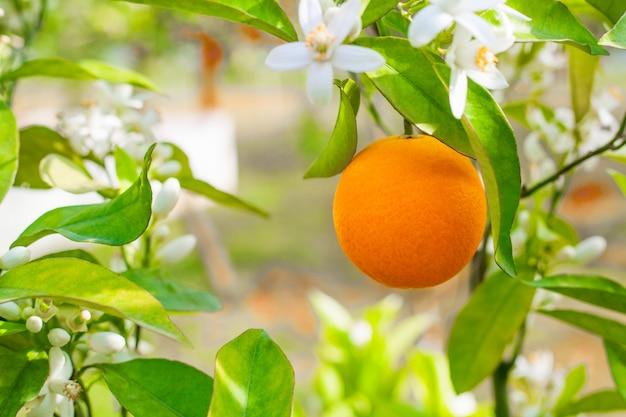 Uma laranja em um galho, uma grande fruta fresca madura em uma laranjeira entre as flores no jardim. foto do conceito para anunciar suco e vitamina c. Foto Premium