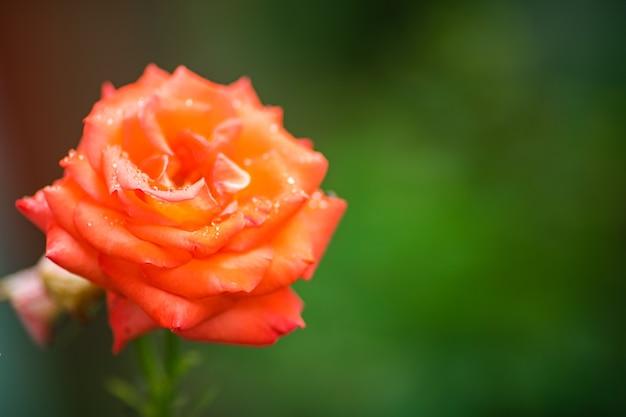 Uma linda rosa solitária com pétalas grandes cresce no jardim Foto gratuita