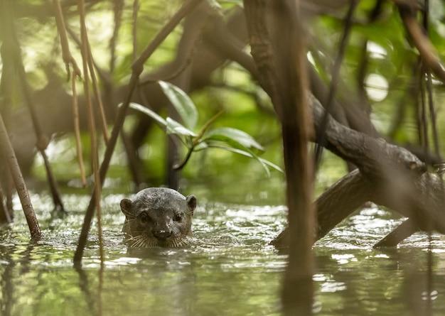 Uma lontra revestida lisa selvagem, lutra perspicillata, entre as árvores de mangue. Foto Premium
