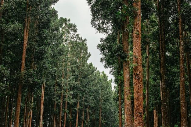 Uma paisagem de pinhal verde Foto Premium
