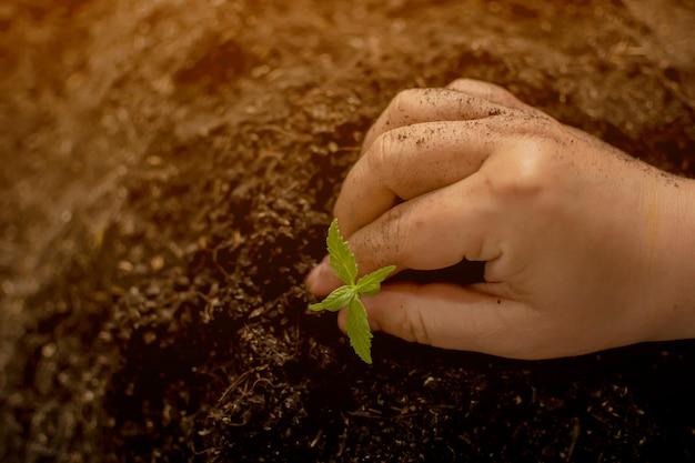 Uma pequena planta de mudas de cannabis na fase de vegetação plantada no chão um belo plano de fundo do sol Foto Premium