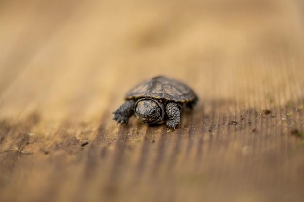 Uma pequena tartaruga recém-nascida rastejando em uma placa de madeira Foto Premium