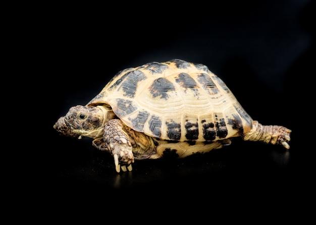 Uma tartaruga isolada no preto Foto Premium