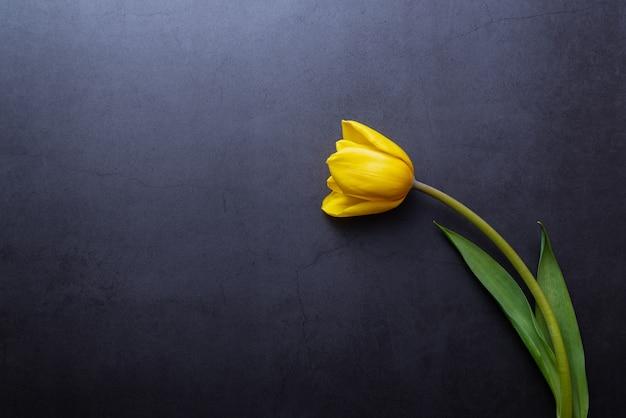 Uma tulipa amarela bonita em close-up contra uma parede cinza-azul escuro. Foto Premium
