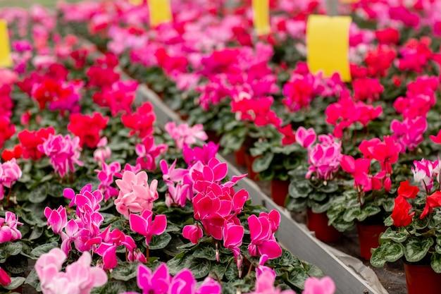Uma variedade colorida de cíclame floresce na flor na estufa. cíclame com folhas verdes em vasos. conceito de jardinagem Foto Premium