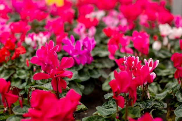 Uma variedade colorida de cíclame floresce na flor na estufa. feche os ciclâmenes com folhas verdes em vasos. conceito de jardinagem Foto Premium