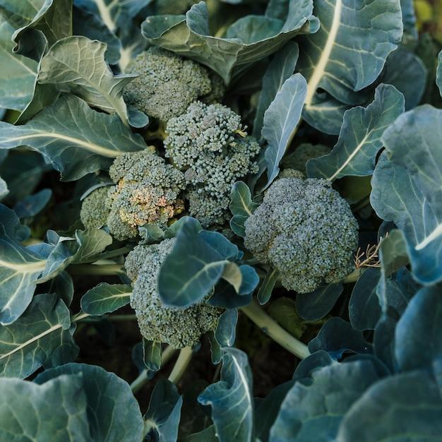 Uma visão aérea de brócolis verde fresco Foto gratuita