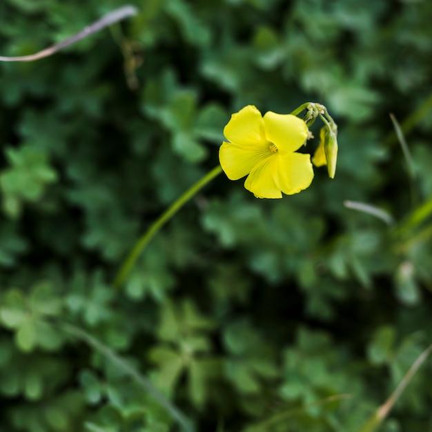 Única flor amarela com broto Foto gratuita