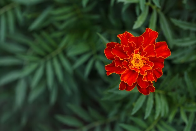 Única flor de calêndula grande no jardim, vista superior Foto Premium