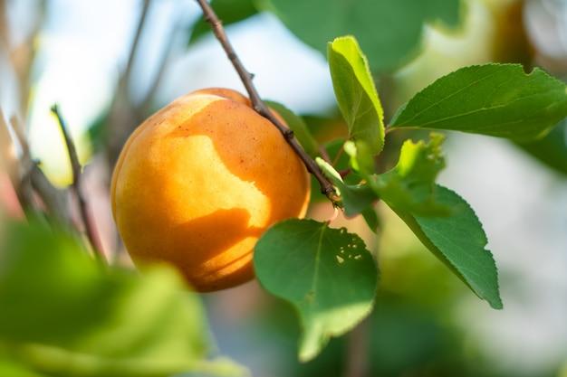 Único damasco amarelo em um galho de uma árvore de fruta no verão Foto Premium
