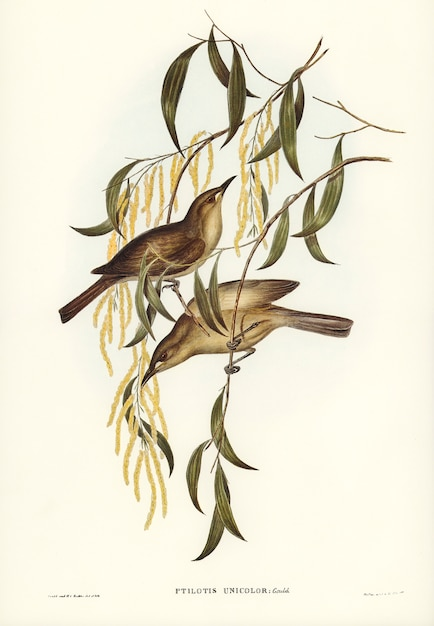 Uniforme mel-comedor (ptilotis unicolor) ilustrado por elizabeth gould Foto gratuita