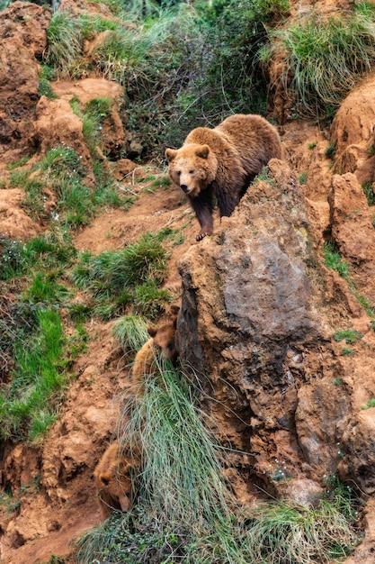 Urso marrom Foto Premium