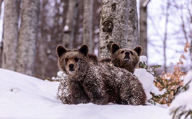 Urso no inverno. Foto Premium