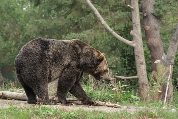 Urso pardo andando em um caminho com uma floresta turva Foto gratuita