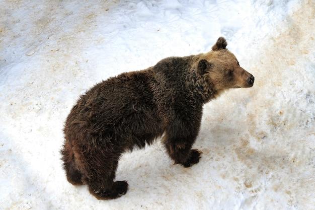 Urso pardo do japão na neve no inverno no japão Foto Premium