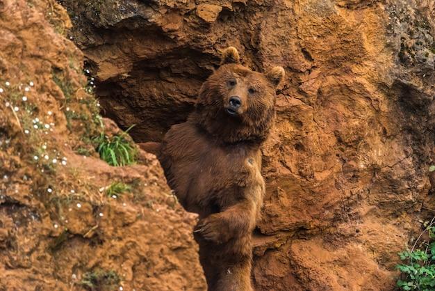 Urso pardo em uma reserva natural Foto Premium