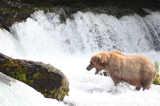 Urso pardo pegando um peixe no rio no alasca Foto gratuita
