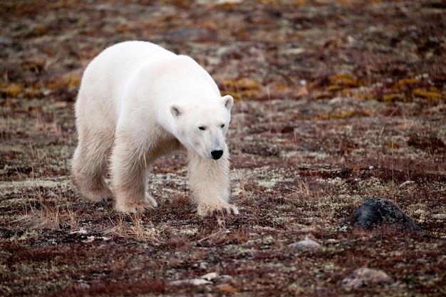 Urso polar, (ursus, maritimus), churchill, manitoba, canadá Foto Premium