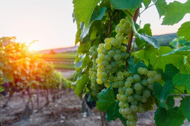 Uva de videira linha em vinhas de champagne em montagne de reims Foto Premium