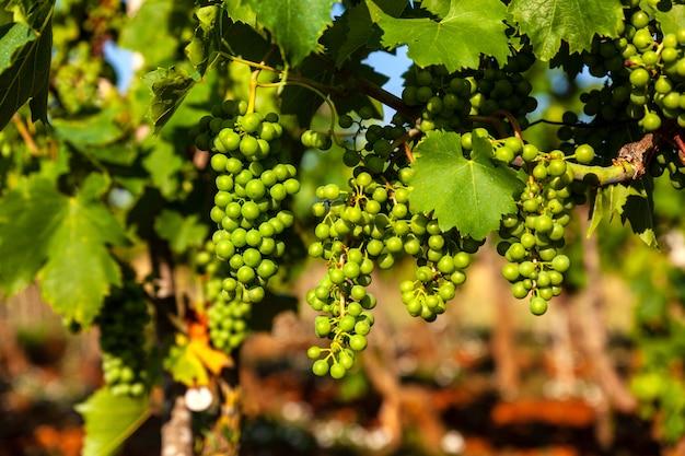 Uvas brancas nas vinhas da zona rural da ístria Foto Premium