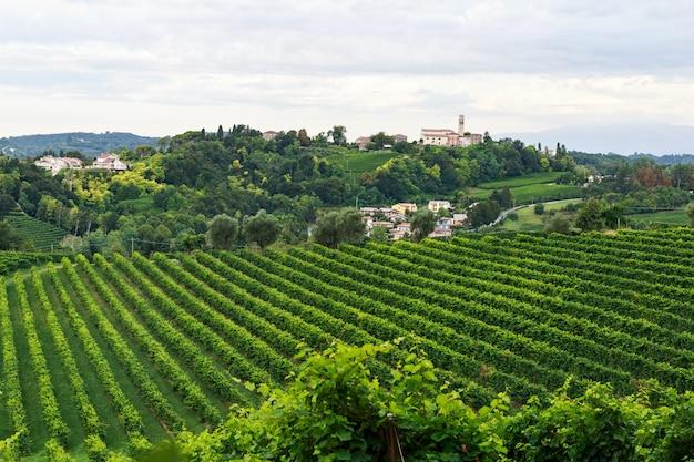 Uvas crescendo em vinhas em conegliano Foto Premium