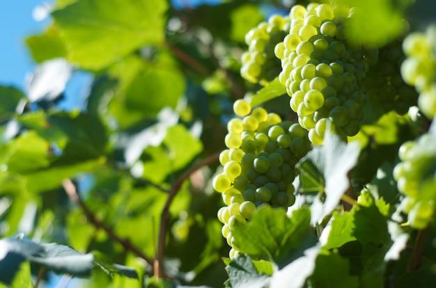 Uvas fecham-se no vneyard Foto Premium
