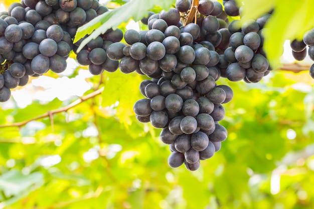 Uvas pretas no vinhedo Foto Premium