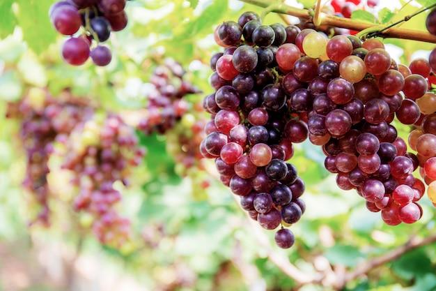 Uvas vermelhas na árvore com fundo. Foto Premium