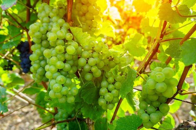 Uvas videira, em, champanhe, região, em, outono, colheita, frança Foto Premium