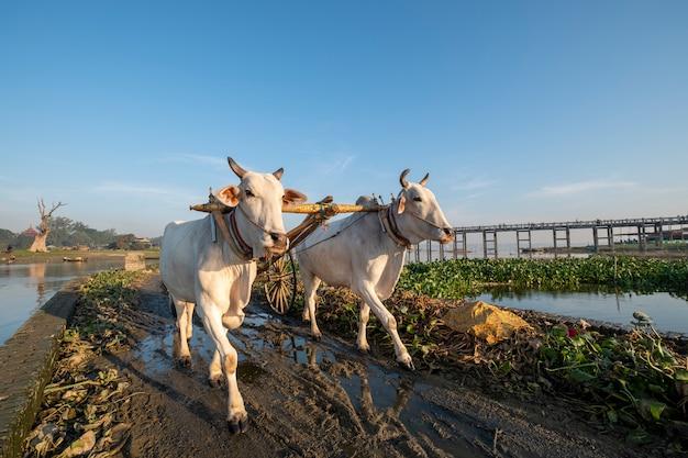 Vaca branca a pé no campo Foto gratuita