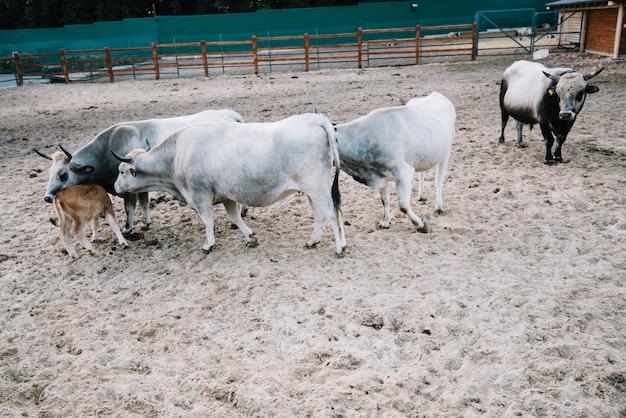 Vaca e bezerro no celeiro Foto gratuita