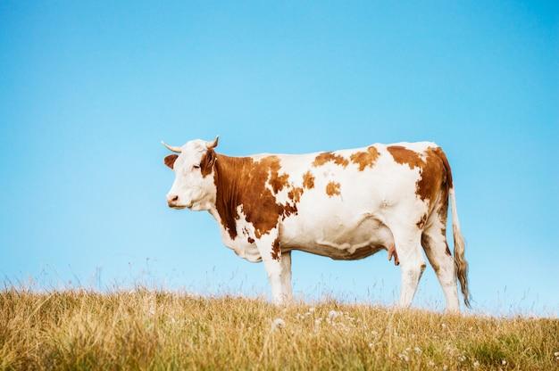 Vaca em pé em um pasto e céu azul claro Foto Premium