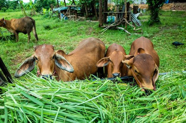 Vaca marrom comendo grama Foto gratuita
