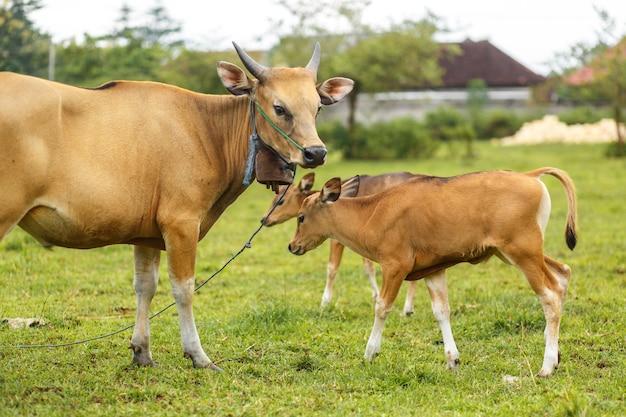 Vaca marrom da cor do balinese do retrato que pasta em um prado. Foto Premium