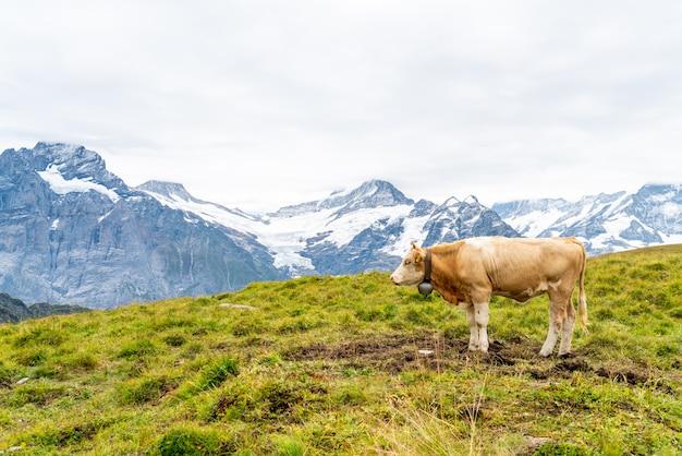 Vaca na montanha suíça alpes grindelwald primeiro Foto Premium