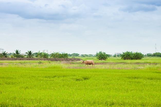 Vaca ou búfalo andando no campo de arroz paddy a agricultura na tailândia rural Foto Premium