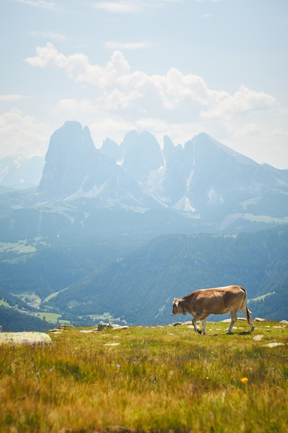 Vaca pastando em um pasto verde cercado por altas montanhas rochosas Foto gratuita