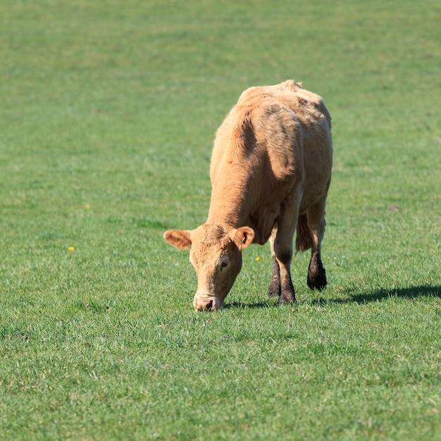 Vaca pastando em um prado verde em um dia ensolarado Foto gratuita
